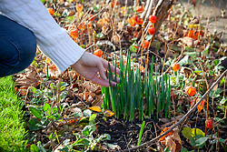 Daffodil shoots showing unusually early during mild spells of weather in December