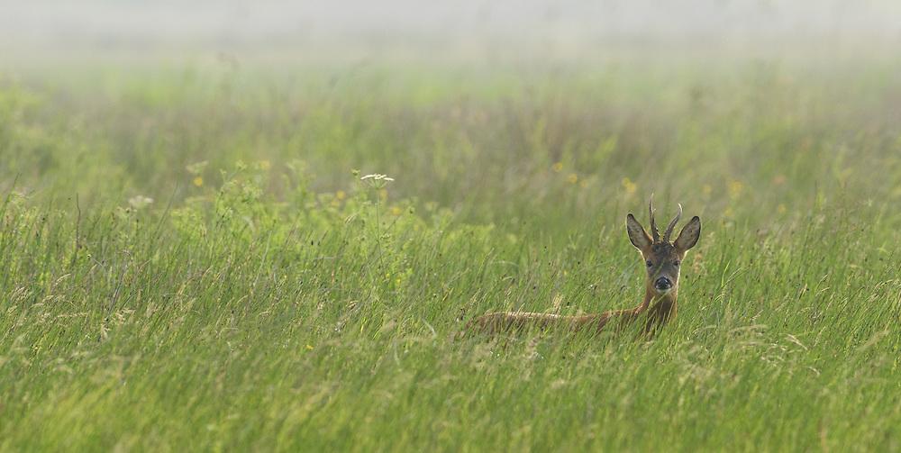 Roe deer, Islay, Scotland