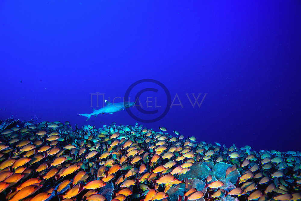 Flametail snapper Lutjanus fulvus; French Polynesia, outer reef, Fakarava, South Passage