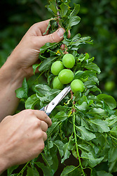 Thinning plums using scissors to encourage stronger, bigger fruiting