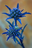 Eryngium dilatatum.  Southwest Alentejo and Vicentine Coast Natural Park, Portugal