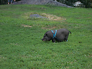 Pet potbelly pig in Central Park