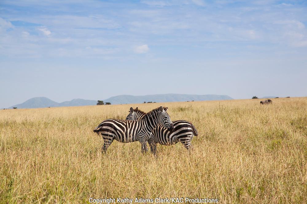 Plains zebra, also called Burchell's zebra, Equus quagga,  Serengeti, Tanzania, Africa.