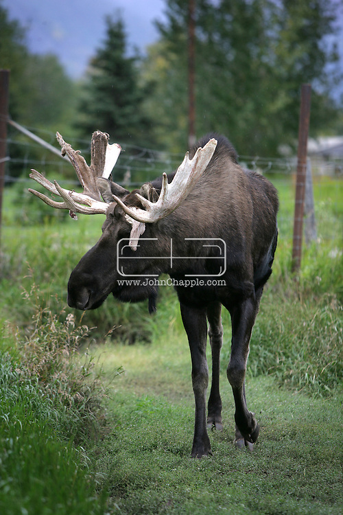 12th September 2008, Wasilla, Alaska. A moose near the hometown of the Alaskan Governor, Sarah Palin. Palin is the US Republican Vice Presidential pick. PHOTO © JOHN CHAPPLE / REBEL IMAGES.tel: +1-310-570-910