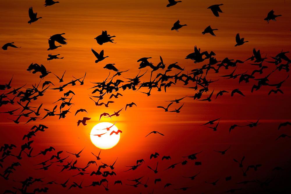 24.04.2009<br /> Sunset, Barnacle Goose (Branta leucopsis) ap&aacute;cal&uacute;d<br /> Westerhever, Germany