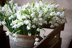 Bunch of picked Summer snowflake - Leucojum aestivum 'Gravetye Giant' -sitting in glazed pot at Little Trevean Nursery, Penzance