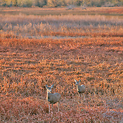 A mother and fawn mule deer at Barr Lake, Colorado. Photo by William Byrne Drumm.