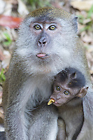 Adult female Long-tailed Macaque showing her tongue with infant, Malaysia