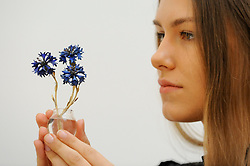 """© Licensed to London News Pictures. 02/06/2017. London, UK. A staff member presents """"A Fabergé gold, enamel and hardstone study of Cornflowers"""", c. 1910, (Est. GBP 180-250k).  Preview of Sotheby's sale of Russian pictures and works of art which takes place on 6 June 2017 at Sotheby's in New Bond Street. Photo credit : Stephen Chung/LNP"""
