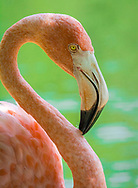 Flamingos are a type of wading bird in the family Phoenicopteridae. There are four flamingo species in the Americas and two species in Afro-Eurasia. Often, they are pink in colour