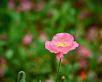 Pink Poppy Flower Opening. Image taken with a Nikon D810A camera and 200 mm f/2 VR lens (auto everything including ISO).