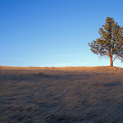 Wind Cave National Park, SD.Ponderosa Pine, Pinus ponderosa, and mixed grass prairie.