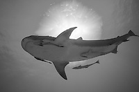 Tiger Shark and Sunburst<br /> <br /> Shot in Bahamas