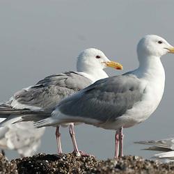 Gulls, Orcas Island, San Juan Islands, Washington, US