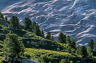 Arven mit Heidelbeeren und Alpenrosen im grünen Sommerkleid auf Geländerippen über dem Aletschgletscher.