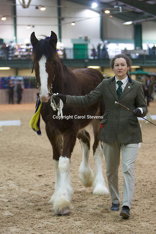 Shire Horse Society Spring Show 2017  Class  11 Yearling Colts