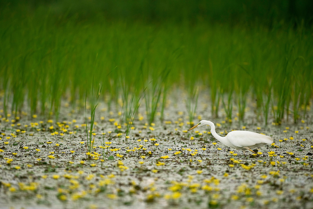 Great white egret (Ardea alba) in one of the several lakes of Hortobagy National Park, Hungary
