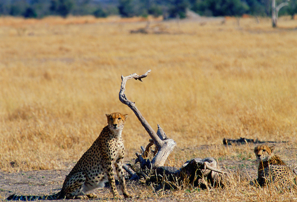 Cheetahs in Moremi National Park, Botswana