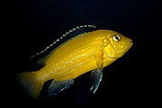 "Malawi cicklid from the Mbuna group - Labidochromis caeruleus ""Yellow"""