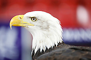 Kayla The Eagle watching on during the Capital One Cup match between Crystal Palace and Charlton Athletic at Selhurst Park, London, England on 23 September 2015. Photo by Michael Hulf.