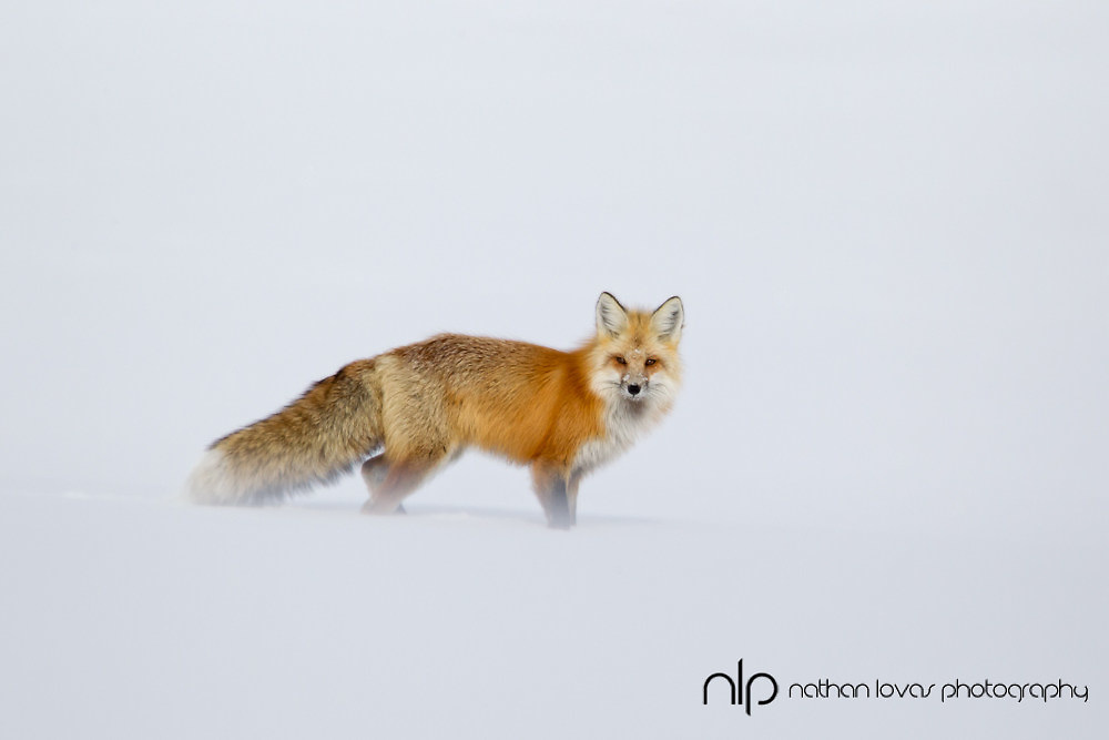 Red fox standing in blowing snow; Yellowstone NP in wild.