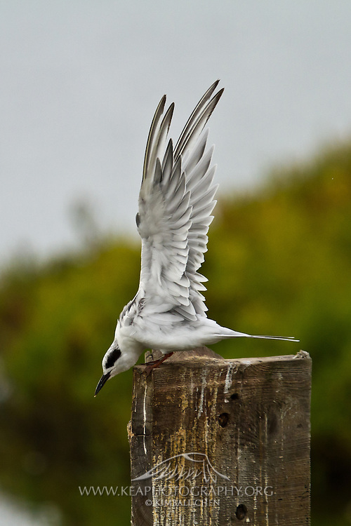 Forster's Tern stretches its wings, Bolsa Chica.
