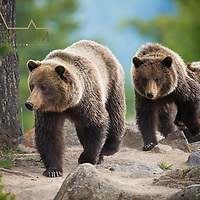 grizzly sow with cubs