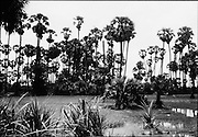 Fields of palms on the way to Banteay Srey.