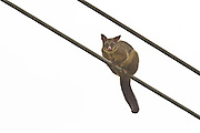 Common Brushtail Possum stranded on a electrical power line, Southland, New Zealand