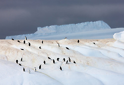 Chinstrap Penguin (Pygoscelis antarcticus) on ice in Antarctica