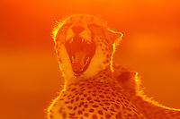 A cheetah yawning, Okavango Delta, Botswana.