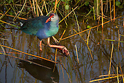 An introduced species, the exotic Purple Swamphen (Porphyrio porphyrio poliocephalus) photographed at Wakodahatchee wetlands, Florida.