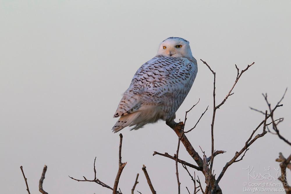 A snowy owl (Nyctea scandiaca) is perched in a bare tree at Damon Point in Ocean Shores, Washington at dusk. Snowy owls, which spend the summer in the northern circumpolar region north of 60 degrees latitude, have a typical winter range that includes Alaska, Canada and northern Eurasia. Every several years, for reasons still unexplained, the snowy owls migrate much farther south in an event known as an irruption. During one irruption, a snowy owl was found as far south as the Caribbean. During the 2011-2012 irruption, Ocean Shores on the Washington coast was the winter home for an especially large number of snowy owls. Snowy owls tend to prefer coastal and plains areas, which most resemble the open tundra that serves as their typical home.