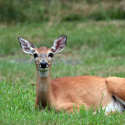 A Whitetail Deer Doe, Odocoileus virginianus, resting in the grass. Rifle Camp Park, Woodland Park, New Jersey, USA