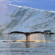 A humpback whale submerging in Wilhelmina Bay, Antarctica.<br />