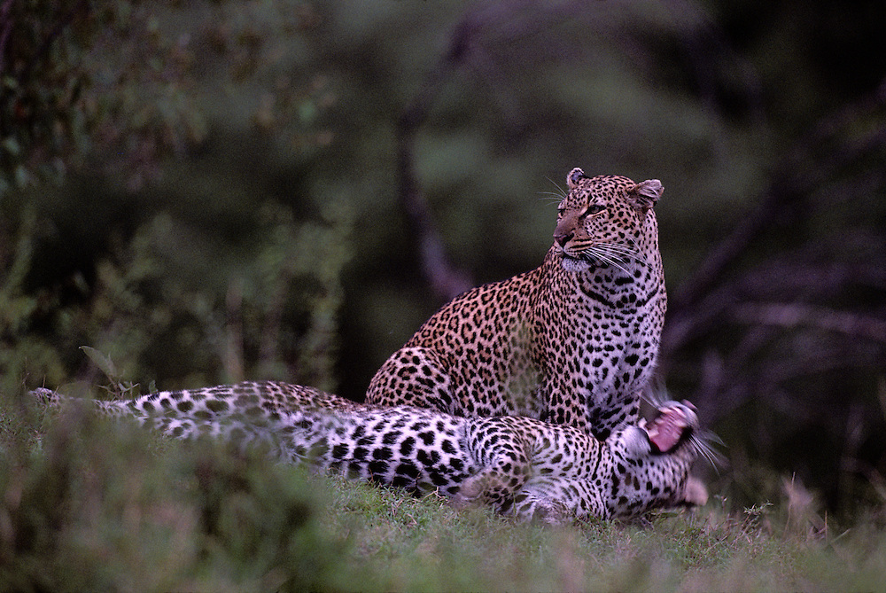 Kenya, Masai Mara Game Reserve, Adult Female Leopard (Panthera pardus) with adolescent male offspring by Telek River