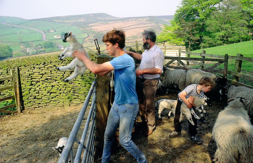 Peak District National Park hill farm near Hayfield, Kinder Scout. Sheep farmer and sons working with lambs and ewes in farmyard