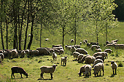 Sheep graze on Tony Soter's farm below the vineyards, Willamette Valley, Yamhill-Carlton AVA, Oregon