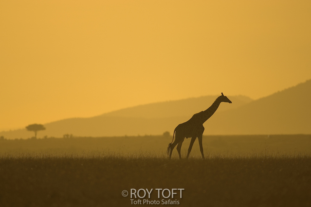 Lone Masai Giraffe (Giraffa camelopardalis tippelskirchi) walking to right, full body silhouette at sunrise.