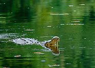 Alligators & Crocodiles