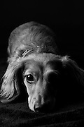A long haired dachshund dog posing for the camera.
