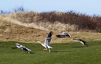 TEXEL - De Cocksdorp - Ganzen op Golfbaan De Texelse. COPYRIGHT KOEN SUYK