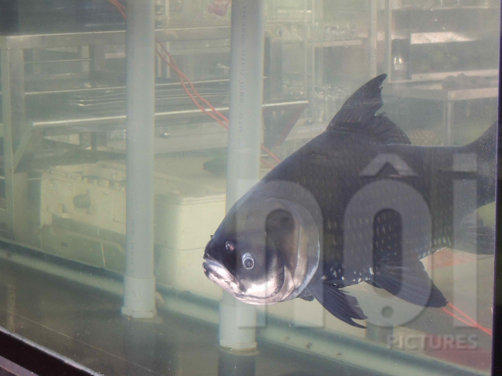 Large fish in a tank, HCMC, Vietnam, Southeast Asia