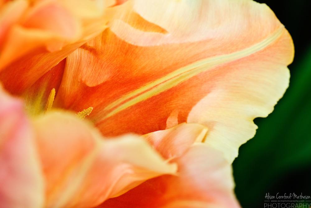 Triumph Tulip 'Stunning Star' Keukenhof Spring Tulip Gardens, Lisse, The Netherlands.