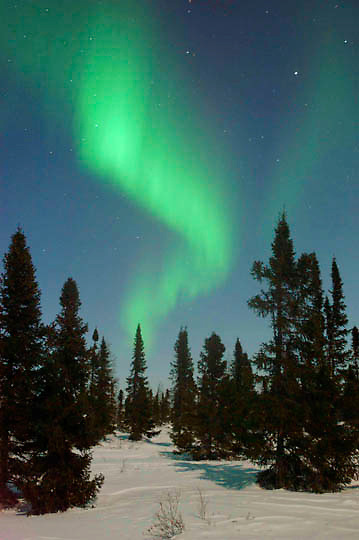 Northern Lights, Aurora Borealis, shine brightly over the black spruce trees in Wapusk National Park in temperatures of -46F. February. Canada
