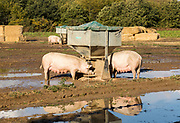 Free range outdoor pig farming Suffolk Sandlings heathland, Shottisham,, Suffolk, England, UK