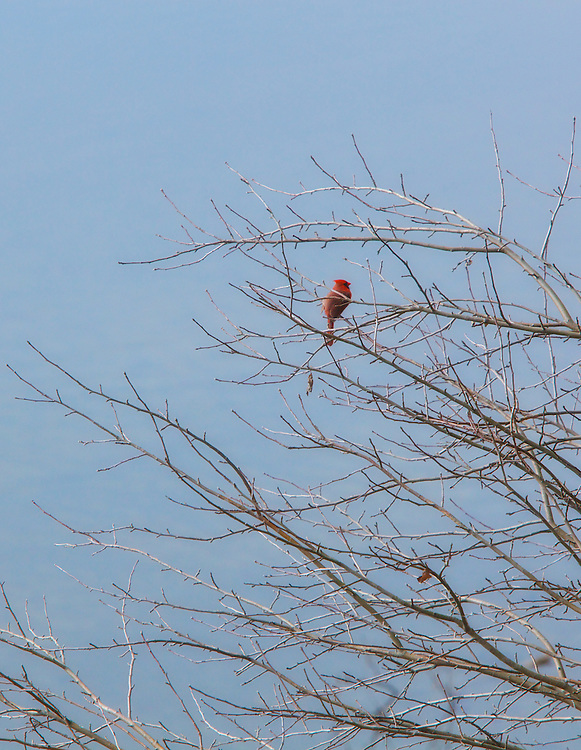 A cardinal in early spring