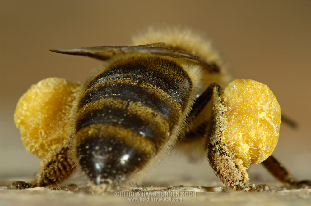 """DEU, Deutschland: Biene, Honigbiene (Apis mellifera), mit """"Pollenhöschen"""", Bienen haben spezielle Einrichtungen an den Hinterbeinen um die nach hinten gestreiften und gesammelten Pollen zu transportieren, sie kleben dann in kleinen Bällchen an den Hinterbeinen, Bienenstation an der Bayerischen Julius-Maximilians-Universität Würzburg"""