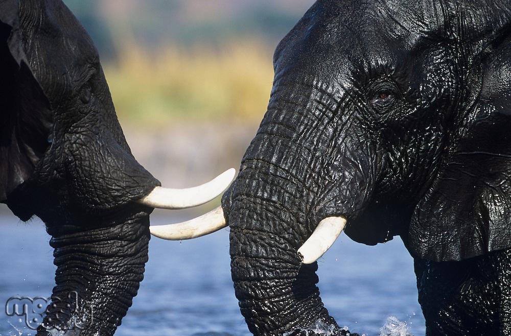 Two African Elephants (Loxodonta Africana) bathing at waterhole