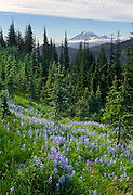 From a field of lupine flowers in Goat Rocks Wilderness Area we observe Mount Rainier (14,411 feet elevation) in the distance. Gifford Pinchot National Forest, Washington, USA. Lupinus is a genus in the pea family (also called the legume, bean, or pulse family, Latin name Fabaceae or Leguminosae). This photo was stitched from two overlapping photos.